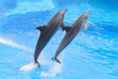 Bottlenose dolphin. Jumping from blue water stock photography