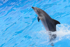 Bottlenose dolphin. Jumping from blue water royalty free stock photos