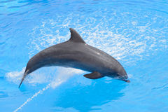 Bottlenose dolphin jumping from blue water Stock Photos