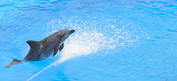 Bottlenose dolphin jumping from blue water Royalty Free Stock Photography