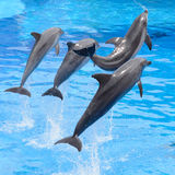 Bottlenose dolphin jumping from blue water. Four bottlenose dolphin jumping from blue water stock images