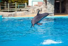 Bottlenose dolphin jumping high from bue water. Bottlenose dolphin jumping high from but water stock photo