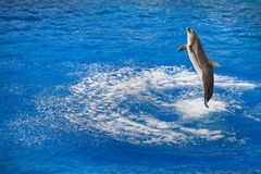 Bottlenose dolphin jumping out of water Royalty Free Stock Photos