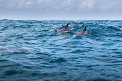 Bottlenose dolphin jumping from water, Menay Bay, Zanzibar, Tanz Royalty Free Stock Images