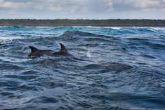 Bottlenose dolphin jumping from water, Menay Bay, Zanzibar, Tanz Royalty Free Stock Photo