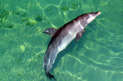 Bottlenose Dolphin. Looks up.It's the most common species of dolphin kept in dolphinariums as they are easy to train, have a long lifespan in captivity and Royalty Free Stock Photo