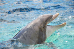 Bottlenose dolphin Royalty Free Stock Photos