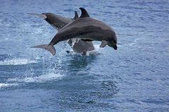 Bottlenose Dolphin. In the ocean of Palawan royalty free stock photo