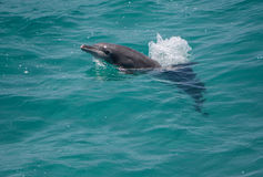 Bottlenose dolphin. Off North Stradbroke Island, Queensland, Australia royalty free stock image