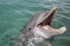 Bottlenose dolphin. Playing in the aqua Caribbean waters in Honduras, Roatan Island Royalty Free Stock Images