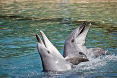 A bottlenose dolphin. The bottlenose dolphin are playing in the water splashing about royalty free stock images