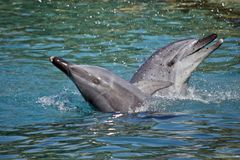 A bottlenose dolphin. The bottlenose dolphin are playing in the water splashing about stock image