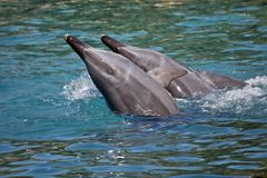 A bottlenose dolphin. The bottlenose dolphin are playing in the water splashing about royalty free stock photos