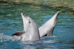 A bottlenose dolphin. The bottlenose dolphin are playing in the water splashing about stock photo