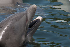 Bottlenose dolphin's head emerged fron water Royalty Free Stock Photos