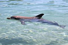 A bottlenose dolphin. This is a side view of a bottlenose dolphin stock image