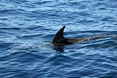Bottlenose dolphin skimming the surface. A bottlenose dolphin (Tursiops truncatus) skimming the surface of the oceanic water outside the Azores Stock Photography