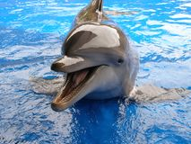 Bottlenose dolphin smiling Royalty Free Stock Images