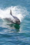 Bottlenose dolphin swimming Royalty Free Stock Images