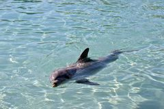 A bottlenose dolphin. The bottlenose dolphin is swimming on its side royalty free stock photos