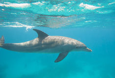 Bottlenose dolphin swimming in a lagoon. Wild bottlenose dolphin, Tursiops truncatus swimming underwater in a sandy lagoon stock images