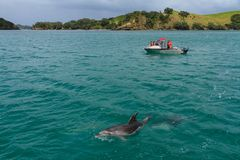 Dolphin watching in the Bay of Islands, New Zealand stock image