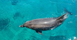 Bottlenose dolphin swims in sea Royalty Free Stock Photo