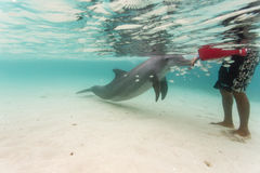 Bottlenose dolphin touches hand of swimmer in Caribbean as school of fish swims nearby. Bottlenose dolphin touches hand of swimmer standing in water in Caribbean stock images