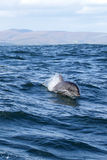 Bottlenose Dolphin (Tursiops aduncus). Indo-Pacific Bottlenose Dolphin (Tursiops aduncus) swimming in the ocean near Dyer Island before the coast from Gansbaai Royalty Free Stock Images