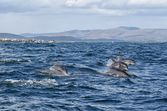 Bottlenose Dolphin (Tursiops aduncus). Indo-Pacific Bottlenose Dolphin (Tursiops aduncus) swimming in the ocean near Dyer Island before the coast from Gansbaai stock photo