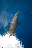 Bottlenose dolphin (Tursiops truncatus). At the surface on the bow wave of a boat. Red Sea, Egypt royalty free stock image