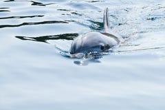 Bottlenose dolphin or Tursiops truncatus. Blue image with Bottlenose dolphin or Tursiops truncatus swimming Stock Photo