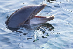 Bottlenose dolphin or Tursiops truncatus. Head of Bottlenose dolphin or Tursiops truncatus above the water surface Stock Photography