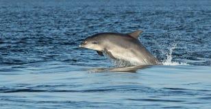 Bottlenose Dolphin (Tursiops truncatus) Royalty Free Stock Image