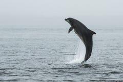 Bottlenose Dolphin (Tursiops truncatus) Stock Image