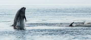 Bottlenose Dolphin (Tursiops truncatus) Stock Photo