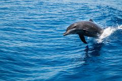 Bottlenose Dolphin Tursiops truncatus jumping uit of the water. Bottlenose Dolphin Tursiops truncatus breaching the water, riding a wave side view stock images