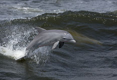Bottlenose Dolphin (Tursiops truncatus) Stock Images