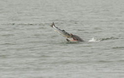 A Bottlenose Dolphin Tursiops truncatus eating a large salmon fish. Stock Photos
