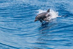 Bottlenose Dolphin Tursiops truncatus jumping uit of the water royalty free stock images