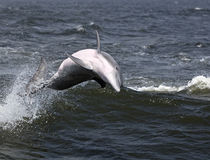 Bottlenose Dolphin (Tursiops truncatus) Royalty Free Stock Photography