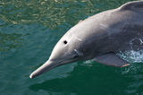 Bottlenose Dolphin. (Tursiops truncatus) in the Persian Gulf, Oman royalty free stock images