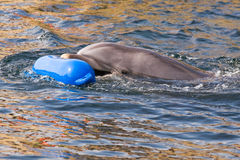 Bottlenose dolphin or Tursiops truncatus playing. In the water Stock Image