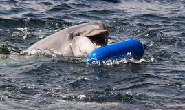 Bottlenose dolphin or Tursiops truncatus playing. In the water Stock Photography
