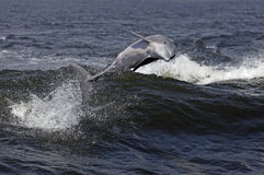 Bottlenose Dolphin (Tursiops truncatus) Stock Photos