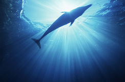 Bottlenose dolphin (tursiops truncatus) underwater view Stock Image