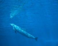 Bottlenose dolphin tursiops truncatus, underwater view.  Stock Photo
