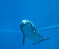Bottlenose dolphin tursiops truncatus, underwater view.  Royalty Free Stock Photos
