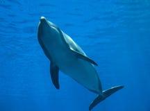Bottlenose dolphin tursiops truncatus, underwater view. Bottlenose dolphin tursiops truncatus, underwater view Stock Image