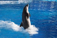 Bottlenose dolphin. This bottlenose dolphin uses its powerful tail to propel it high above the water royalty free stock photography